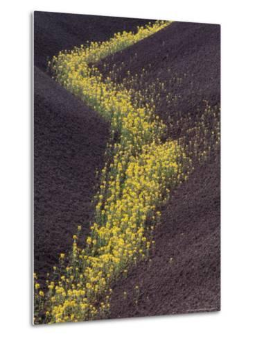 Yellow Flowers Follow Streambed in Painted Hills National Monument, Oregon, USA-Darrell Gulin-Metal Print