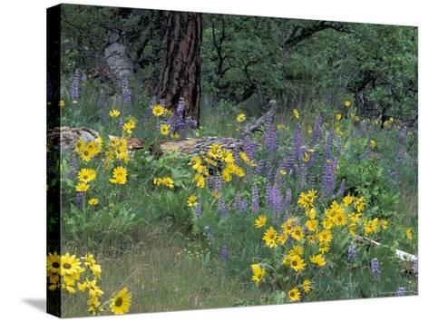 Balsam Root and Lupines Among Oregon White Oak and Pacific Ponderosa Pine, Rowena, Oregon, USA--Stretched Canvas Print