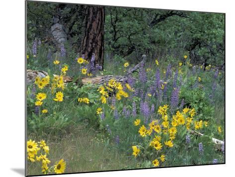 Balsam Root and Lupines Among Oregon White Oak and Pacific Ponderosa Pine, Rowena, Oregon, USA--Mounted Photographic Print