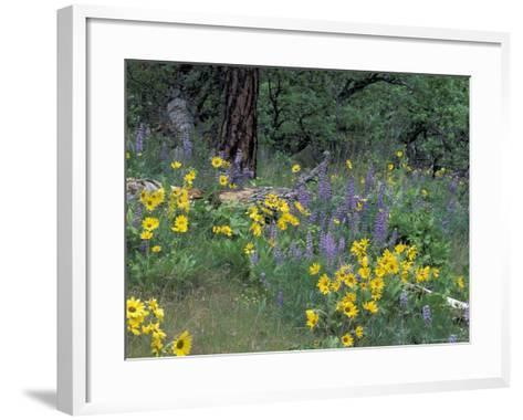 Balsam Root and Lupines Among Oregon White Oak and Pacific Ponderosa Pine, Rowena, Oregon, USA--Framed Art Print