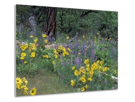 Balsam Root and Lupines Among Oregon White Oak and Pacific Ponderosa Pine, Rowena, Oregon, USA--Metal Print