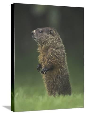 Groundhog Woodchuck, Great Smoky Mountains National Park, Tennessee, USA-Adam Jones-Stretched Canvas Print