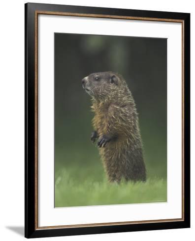 Groundhog Woodchuck, Great Smoky Mountains National Park, Tennessee, USA-Adam Jones-Framed Art Print