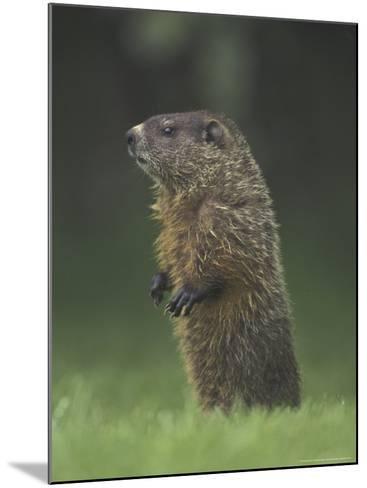 Groundhog Woodchuck, Great Smoky Mountains National Park, Tennessee, USA-Adam Jones-Mounted Photographic Print