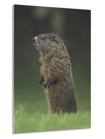 Groundhog Woodchuck, Great Smoky Mountains National Park, Tennessee, USA-Adam Jones-Metal Print