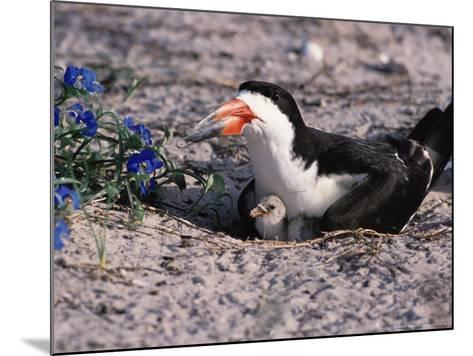 Black Skimmer, Texas, USA-Dee Ann Pederson-Mounted Photographic Print