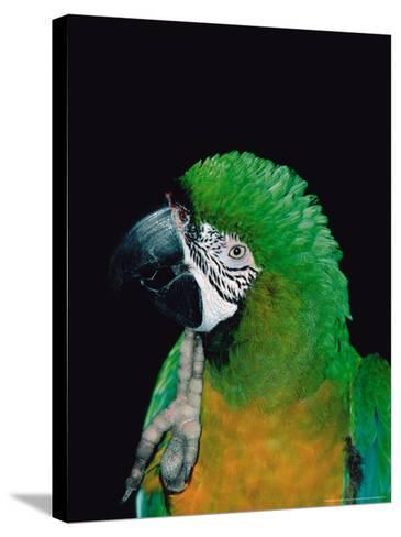 Green and Gold Macaw, Galveston Botanical Garden, Moody Gardens, Texas, USA-Dee Ann Pederson-Stretched Canvas Print