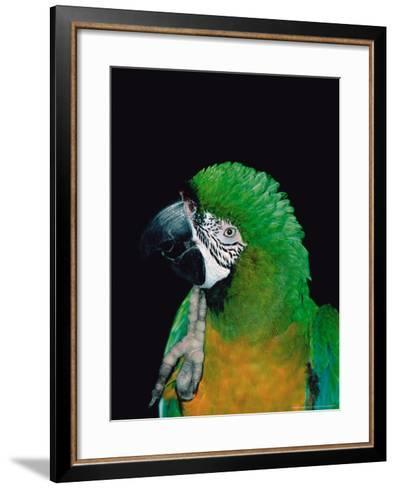 Green and Gold Macaw, Galveston Botanical Garden, Moody Gardens, Texas, USA-Dee Ann Pederson-Framed Art Print