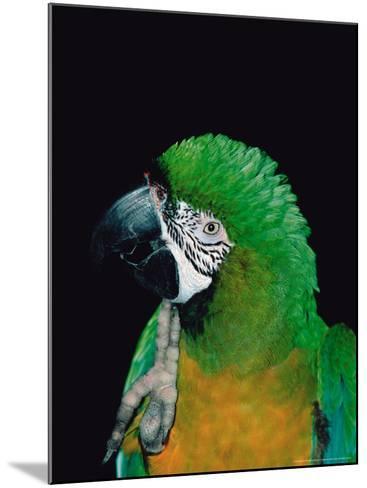 Green and Gold Macaw, Galveston Botanical Garden, Moody Gardens, Texas, USA-Dee Ann Pederson-Mounted Photographic Print