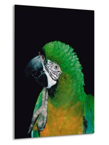 Green and Gold Macaw, Galveston Botanical Garden, Moody Gardens, Texas, USA-Dee Ann Pederson-Metal Print