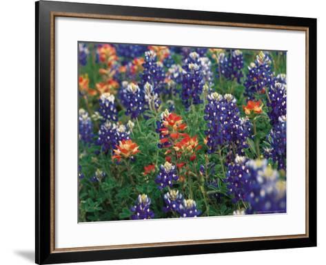 Bluebonnets and Paintbrush, Hill Country, Texas, USA-Dee Ann Pederson-Framed Art Print