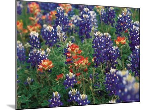Bluebonnets and Paintbrush, Hill Country, Texas, USA-Dee Ann Pederson-Mounted Photographic Print