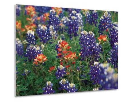 Bluebonnets and Paintbrush, Hill Country, Texas, USA-Dee Ann Pederson-Metal Print