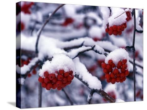 Snow on Mountain Ash Berries, Utah, USA-Howie Garber-Stretched Canvas Print