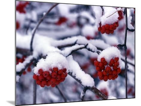 Snow on Mountain Ash Berries, Utah, USA-Howie Garber-Mounted Photographic Print