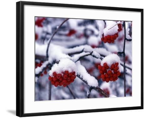 Snow on Mountain Ash Berries, Utah, USA-Howie Garber-Framed Art Print