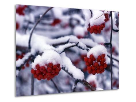 Snow on Mountain Ash Berries, Utah, USA-Howie Garber-Metal Print