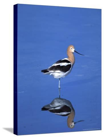 Male American Avocet in Saltwater Pool, Antelope Island State Park, Great Salt Lake, Utah, USA-Jerry & Marcy Monkman-Stretched Canvas Print