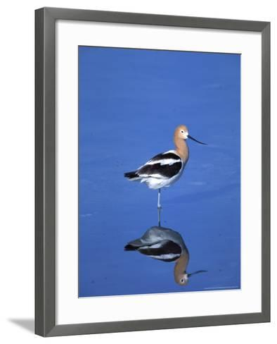 Male American Avocet in Saltwater Pool, Antelope Island State Park, Great Salt Lake, Utah, USA-Jerry & Marcy Monkman-Framed Art Print
