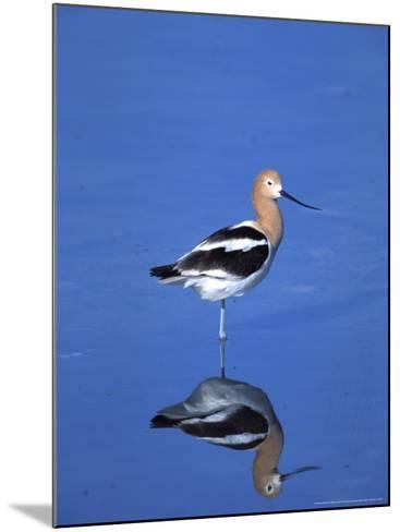Male American Avocet in Saltwater Pool, Antelope Island State Park, Great Salt Lake, Utah, USA-Jerry & Marcy Monkman-Mounted Photographic Print