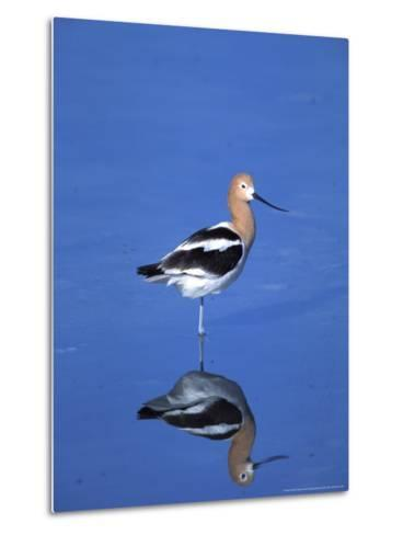 Male American Avocet in Saltwater Pool, Antelope Island State Park, Great Salt Lake, Utah, USA-Jerry & Marcy Monkman-Metal Print