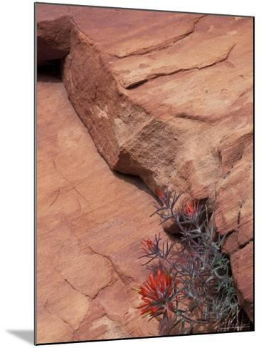 Paintbrush with Entrada Sandstone Along Zion-Mt. Carmel Highway, Zion National Park, Utah, USA--Mounted Photographic Print