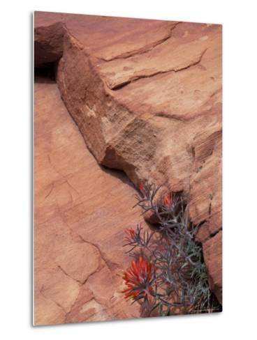 Paintbrush with Entrada Sandstone Along Zion-Mt. Carmel Highway, Zion National Park, Utah, USA--Metal Print