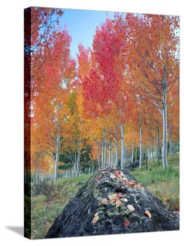 Red Aspen Grove, Boulder Mountain, Dixie National Forest, Utah, USA-Scott T^ Smith-Stretched Canvas Print