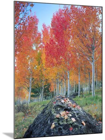 Red Aspen Grove, Boulder Mountain, Dixie National Forest, Utah, USA-Scott T^ Smith-Mounted Photographic Print