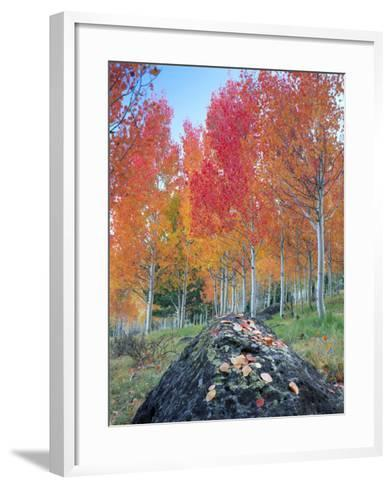 Red Aspen Grove, Boulder Mountain, Dixie National Forest, Utah, USA-Scott T^ Smith-Framed Art Print
