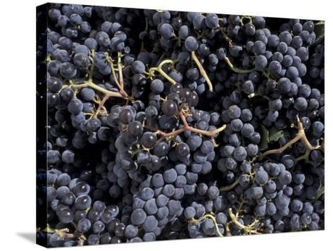 Merlot Grapes Ready to Crush, Terra Blanca Winery, Benton City, Washington, USA-Connie Ricca-Stretched Canvas Print