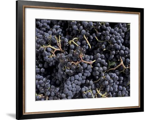 Merlot Grapes Ready to Crush, Terra Blanca Winery, Benton City, Washington, USA-Connie Ricca-Framed Art Print