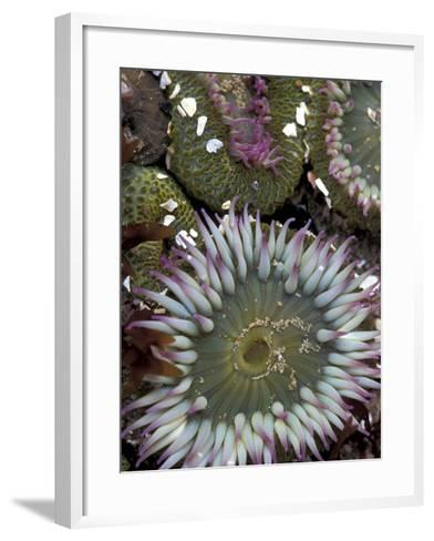 Giant Sea Anenomes at Second Beach, Olympic National Park, Washington, USA--Framed Art Print