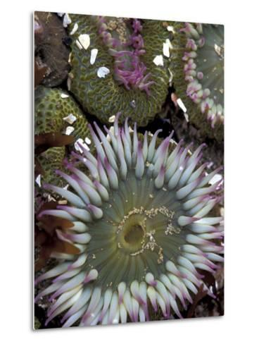Giant Sea Anenomes at Second Beach, Olympic National Park, Washington, USA--Metal Print