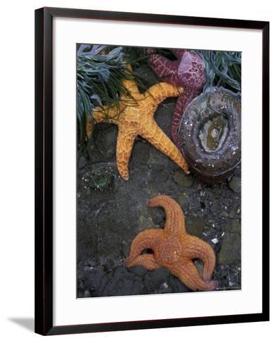 Ochre Sea Stars on Rialto Beach, Olympic National Park, Washington, USA--Framed Art Print