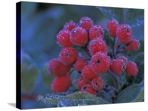 Elderberries Covered in Morning Dew, Mt. Rainier National Park, Washington, USA--Stretched Canvas Print