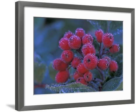 Elderberries Covered in Morning Dew, Mt. Rainier National Park, Washington, USA--Framed Art Print