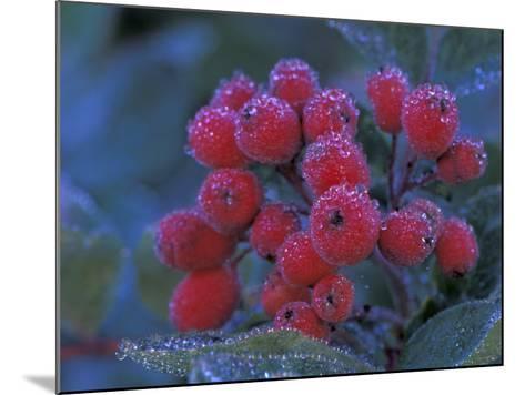 Elderberries Covered in Morning Dew, Mt. Rainier National Park, Washington, USA--Mounted Photographic Print