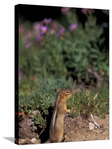 Golden Mantled Ground Squirrel, Mt. Rainier National Park, Washington, USA--Stretched Canvas Print