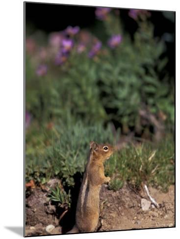 Golden Mantled Ground Squirrel, Mt. Rainier National Park, Washington, USA--Mounted Photographic Print