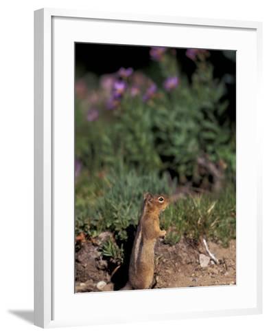 Golden Mantled Ground Squirrel, Mt. Rainier National Park, Washington, USA--Framed Art Print