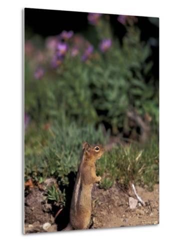Golden Mantled Ground Squirrel, Mt. Rainier National Park, Washington, USA--Metal Print