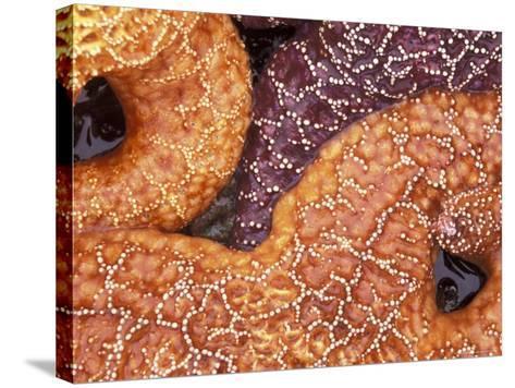 Sea Stars Detail, Shi Shi Beach, Olympic National Park, Washington, USA--Stretched Canvas Print