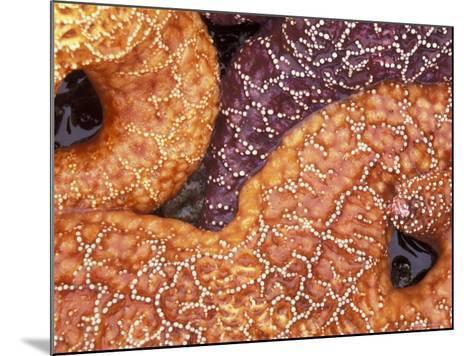 Sea Stars Detail, Shi Shi Beach, Olympic National Park, Washington, USA--Mounted Photographic Print