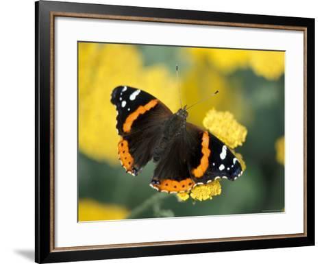 Red Admiral on Butterfly Bush Leaf, Woodland Park Zoo, Washington, USA--Framed Art Print