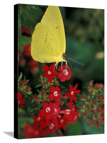 Cloudless Sulphur on Red Star Duster, Woodland Park Zoo, Washington, USA--Stretched Canvas Print