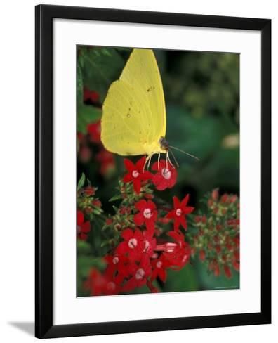 Cloudless Sulphur on Red Star Duster, Woodland Park Zoo, Washington, USA--Framed Art Print
