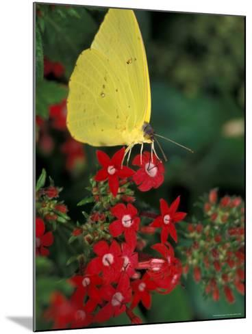 Cloudless Sulphur on Red Star Duster, Woodland Park Zoo, Washington, USA--Mounted Photographic Print