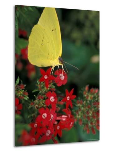 Cloudless Sulphur on Red Star Duster, Woodland Park Zoo, Washington, USA--Metal Print