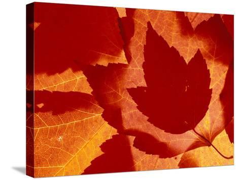 Maple Leaf Collage, Washington, USA--Stretched Canvas Print